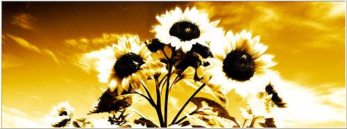 Sonnenblumen - SALDEMER