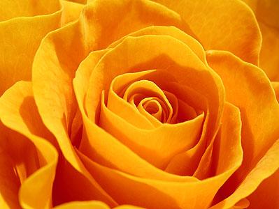 Yellow Rose - SALDEMER
