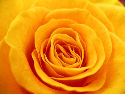 Yellow Rose 1 - SALDEMER