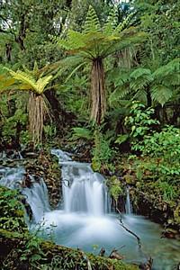Creek with tree ferns - Thomas Marent
