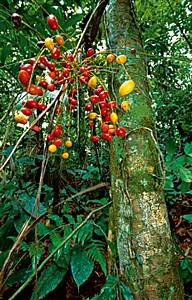 Palmtree fruit - Thomas Marent