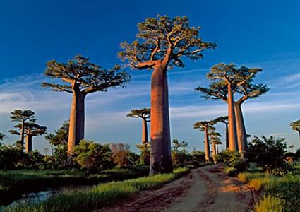 Baobab Tree - Thomas Marent